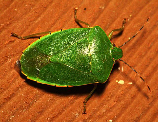 green_bug